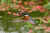Common Kingfisher (普通翠鳥)