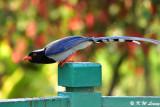 Blue Magpie DSC_7296