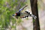 Blue Magpie DSC_7875