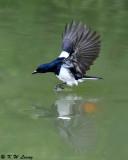 Oriental Magpie Robin (鵲鴝)