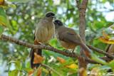 Masked Laughingthrush (黑臉噪鵑)