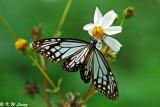 Parantica aglea (絹斑蝶)