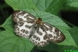 Abraximorpha davidii (白弄蝶)