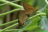 Skippers mating
