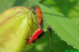 Dysdercus cingulatus (棉紅椿)