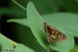 Pelopidas assamensis DSC_6952