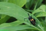 Sycanus croceovittatus