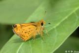 Ampittia dioscorides (黃斑弄蝶)