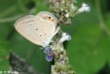 Euchrysops cnejus 01