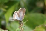 Euchrysops cnejus 02