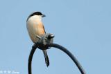 Long-tailed Shrike (棕背伯勞)