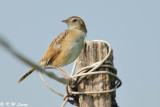 Zitting Cisticola (棕扇尾鶯)