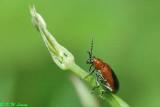 Lema coromandeliana