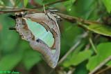 Polyura athamas (窄斑鳳尾蛺蝶)