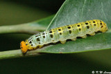 Larva of Bibasis gomata
