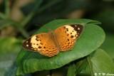 Cupha erymanthis