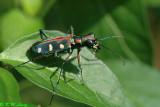 Blue-spotted Tiger Beetle (金斑虎甲)