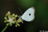Pithecops corvus (黑丸灰蝶)