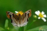 Odontoptilum augulatum (角翅弄蝶)