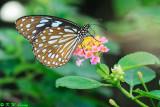 Ideopsis similis (Ceylon Blue Tiger 擬旖斑蝶)