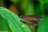 Astictopterus jama 01