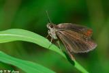 Astictopterus jama 02