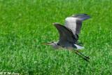 Grey Heron DSC_2407