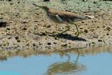 Chinese Pond Heron DSC_2416