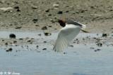 Chinese Pond Heron DSC_2387