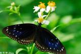 Euploea midamus (藍點紫斑蝶)