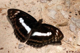 Athyma selenophora DSC_7956