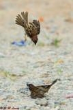 Eurasian Tree Sparrow (樹麻雀)