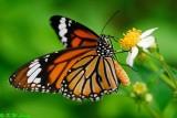 Danainae (斑蝶)