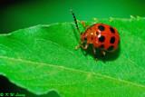 Lady Beetles (瓢蟲)