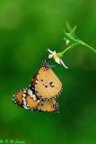 Danaus chysippus (金斑蝶)