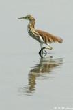 Chinese Pond Heron DSC_7671