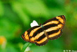 Pantoporia hordonia (金蟠蛺蝶)