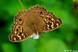 Junonia lemonias (蛇眼蛺蝶)