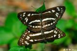 Phaedyma columella (柱菲蛺蝶)