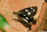 Udaspes folus DSC_0656