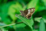 Hyarotis adrastus (希弄蝶)