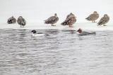 Ducks & Mergansers In Snowfall P1060338-9