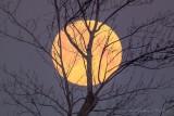 Setting Snow Moon Beyond Winter Tree P1060814-20