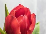 Red Tulip P1070111
