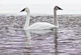 Two Swans Not Seeing Eye To Eye P1070119