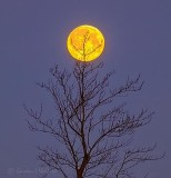 Setting Snow Moon Beyond Winter Tree P1060723-9