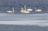 Six Swans & A Duck P1070606