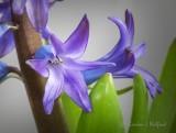 Blue Hyacinths P1070789-91