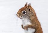 Red Squirrel Up Close P1070826