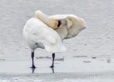 Swan Preening A Wing P1070869